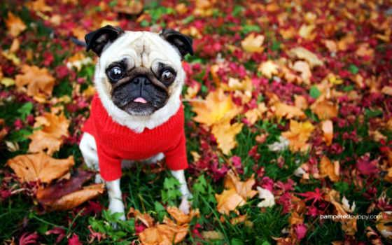 собака, код, осень, мопс, мопсы,