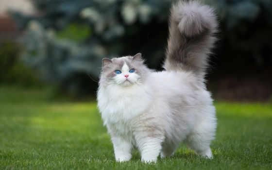 кошки, кот, будет, породы, you, большой, лавруша, пушистые,