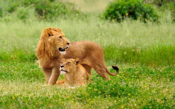 львы, lion, львица Фон № 56851 разрешение 2560x1440
