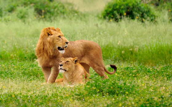 львы, lion, львица