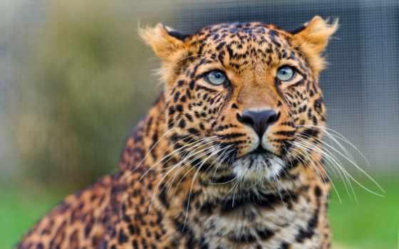 леопард, amur, взгляд