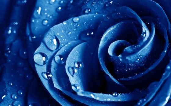 роза, голубая, капли