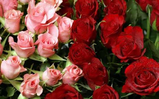 роза, garden, red Фон № 114033 разрешение 1920x1200