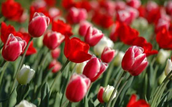 tulips, цветы, природа
