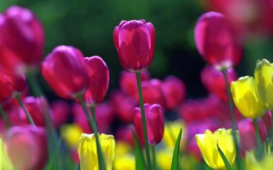 тюльпаны, цветы, поле
