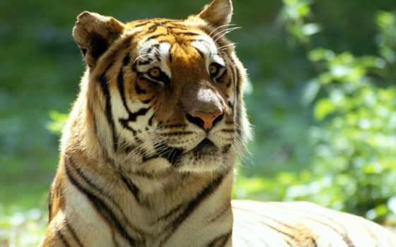 zhivotnye, красивые, тигры