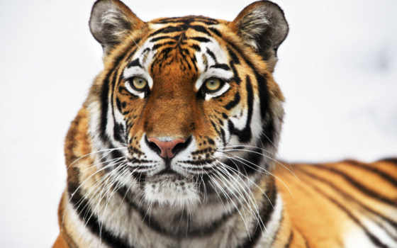 тигр, zoo, animals