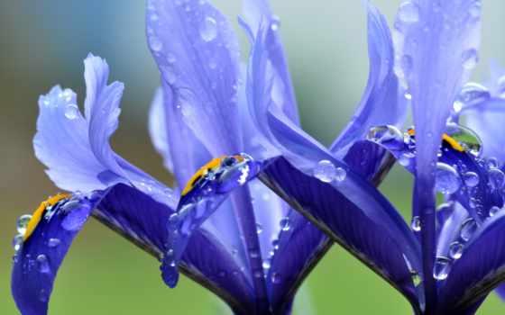 , цветок, лепестки, капли,