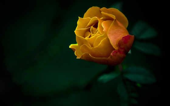 роза, цветы