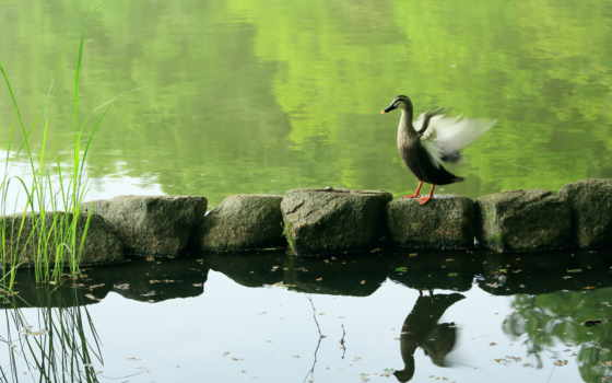 гусь, природа, пруд