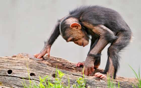 обезьяна, шимпанзе, бревно, трава,