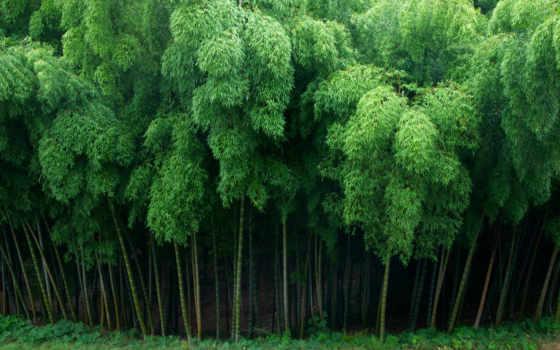 лес, бамбук, японии, густой, kyoto, сагано, плакат,