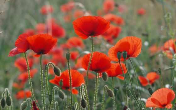 маки, поле, красные, природа, cvety, summer,