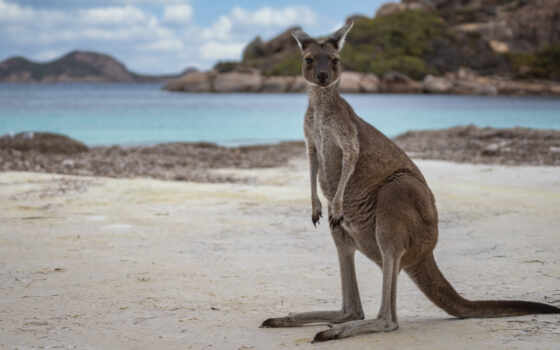 пляж, animal, kangaroo, австралия, western, park, national, grand, cape, тег