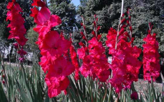 гладиолусы, red, цветы