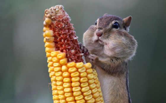 бурундук, жадность, человеческая, хомяк, част, кукуруза,