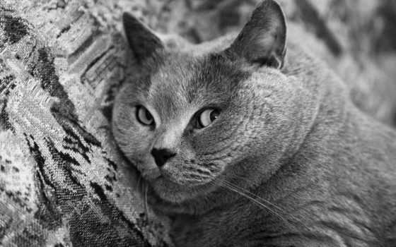 кот, британец, british, белое, shorthair, котята, котенок, стоимость,