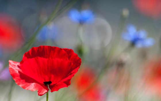 , flowers, васильки, flanders, красные, маки,