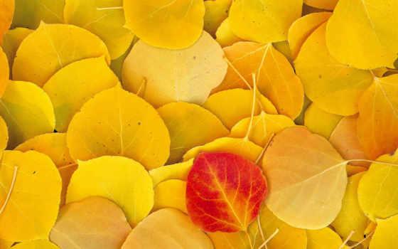 листва, желтые, осень