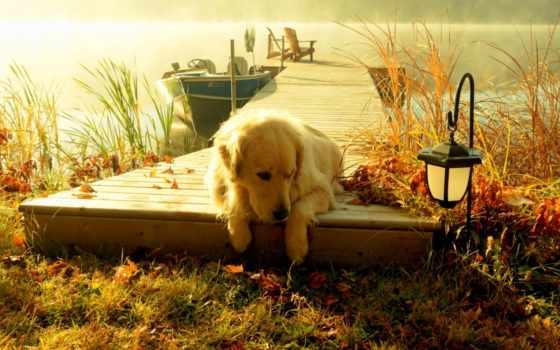 золотистый, retriever, лежит, осень, собаки, близко, озера, туманного, пирсе, корабли,