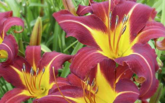 лилии, lily, cvety, красоту,