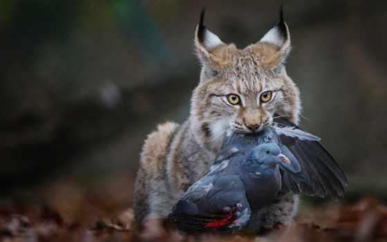 рысь, yang, contest, hewan, victim, телефон, android, liar, mangsa, ди, habitatnya