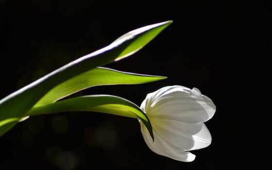 tulipan, хороший, тег, czarnym, tle, makryi, уже, narrow