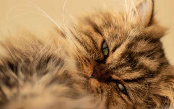 кот, british, смотреть, persian, порода, глаз, длинношерстный, kitty, free, ложь