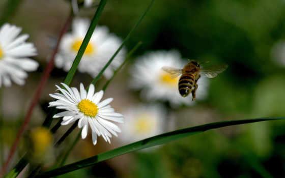 пчелка, цветы, взгляд