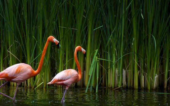 фламинго, птицы, zhivotnye