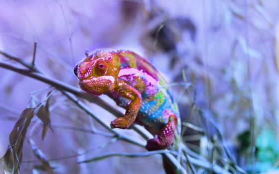 camaleão, chameleon, zhivotnye, рептилии, картинка,