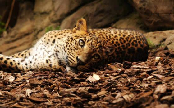 леопард, лежит, дек, камни, листва, леопарды, гепарды, больших, кошек, любители, смотреть,