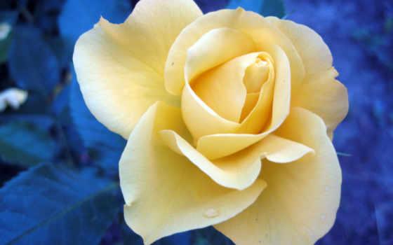 роза, views, смотреть, розовый, yellow, martha, клип, полностью,