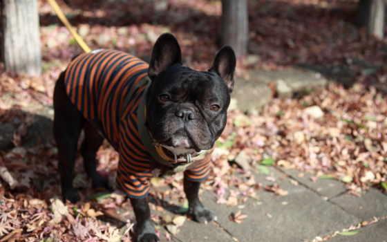 bulldog, мопс, собака, french, поводок, одежда, собаки,