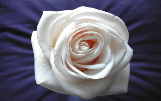 flor, rosa, blanco