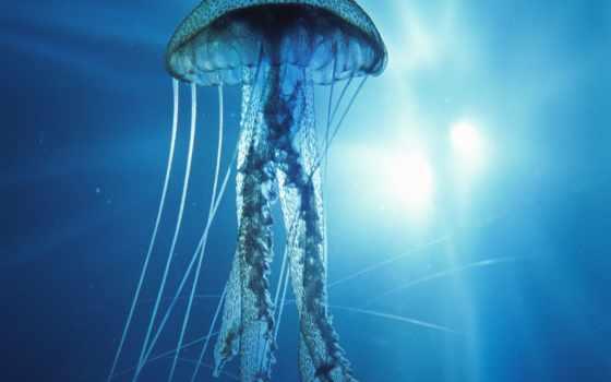 медуз, jellyfish, видов