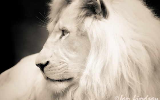 lion, white, profile