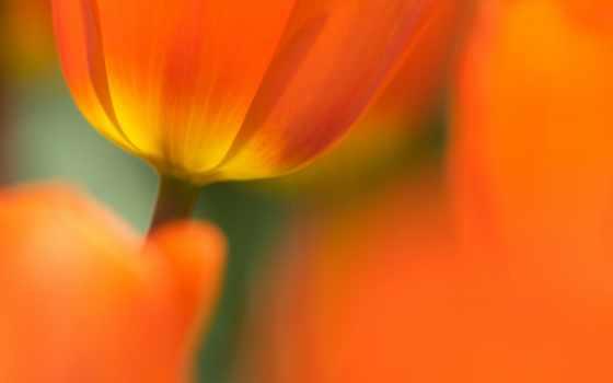 flowers, petals, цветы, tulips, весна, тюльпан, теме, desktop,