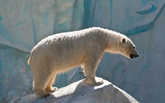 медведь, white, фотообои, animals,