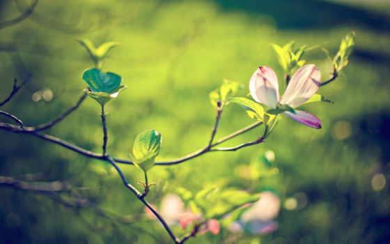 magnolia, ветки, природа, ветви, cvety, макро, листва, цветущая, зелёный, цветы,