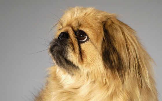 собак, собаки, пекинский, собака, породы, за, мордой, приплюснутой, мире, об, description,