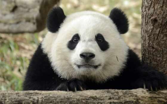 панда, планшетный, white