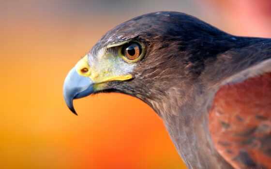 птица, kilogramm, перепелятник, black, winallo, клюв, велосипед, ответить, орлан, package