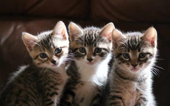 котята, смотрят, сидят, трое,