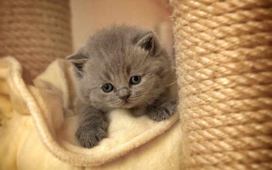 котенок, серый, пушистый