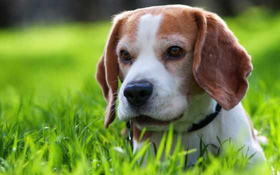 beagle, cute, песни