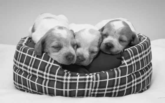 белая, zhivotnye, чёрно, щенки, собаки, собака, задумчивость,