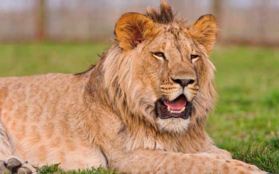 lion, молодой, львенок, разрешениях, разных, browse, отдыхает, камне,