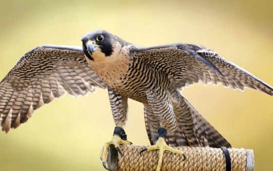 птицы, птиц, перепелятник, птица, фотографий, png, качественные, красивые, горах,