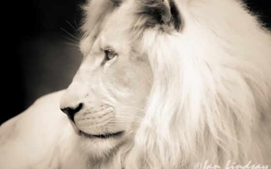 белый лев Фон № 27444 разрешение 1920x1200